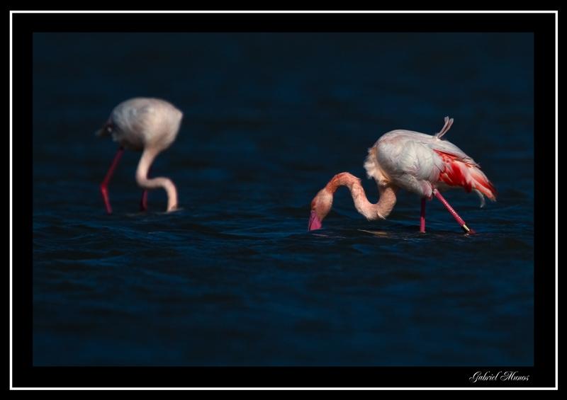 Flamingo - Camargue